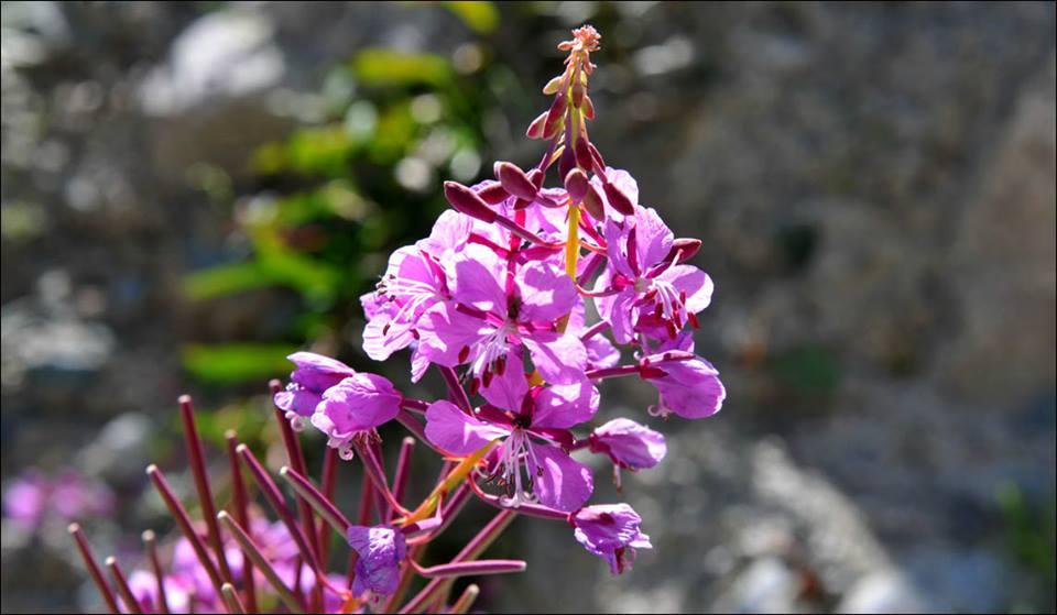 floare-ala-archa.jpg